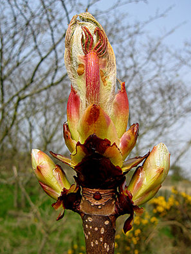 https://upload.wikimedia.org/wikipedia/commons/thumb/e/e5/Horse-chestnut_bud_bursting_into_leaf._-_geograph.org.uk_-_400568.jpg/300px-Horse-chestnut_bud_bursting_into_leaf._-_geograph.org.uk_-_400568.jpg